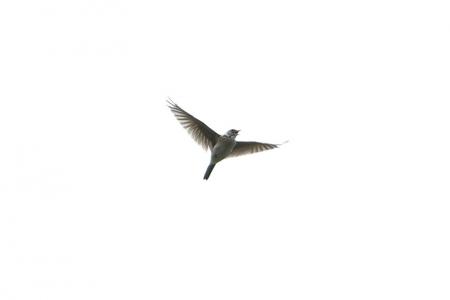 ヒバリ011